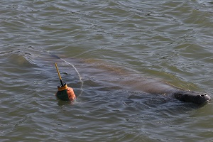 Tagged - Entangled Manatee
