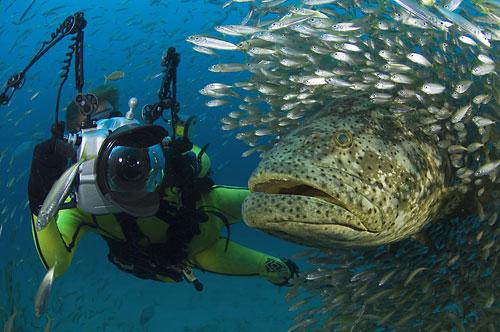 Goliath Grouper Diver