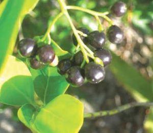 Black Torch Berries