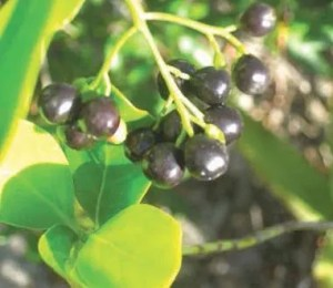 Black Torch Berries
