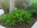 Coontie Native Plant