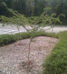 Lignum Vitae Native Plants