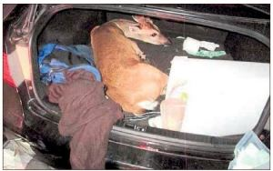 Key Deer Kidnapped