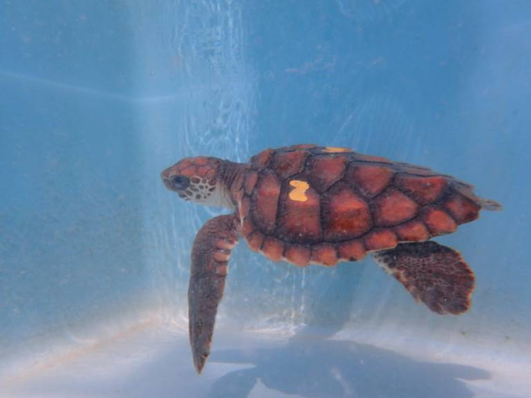 Neptune, a patient at The Turtle Hospital in Marathon.