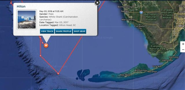 Great White Sharks Hilton tracking near the Florida Keys