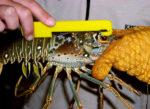 Measuring Lobster Sport Season