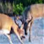 Key Deer Rut