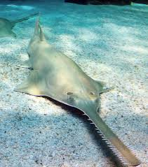 Smalltooth Sawfish What To Do When You Hook One