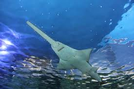Scientists Fight to Save Smalltooth Sawfish