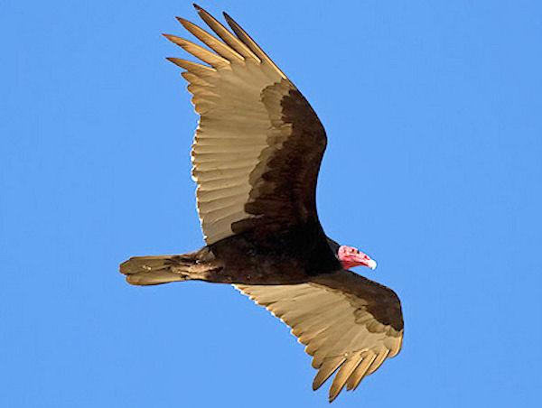 turkey-vulture-2