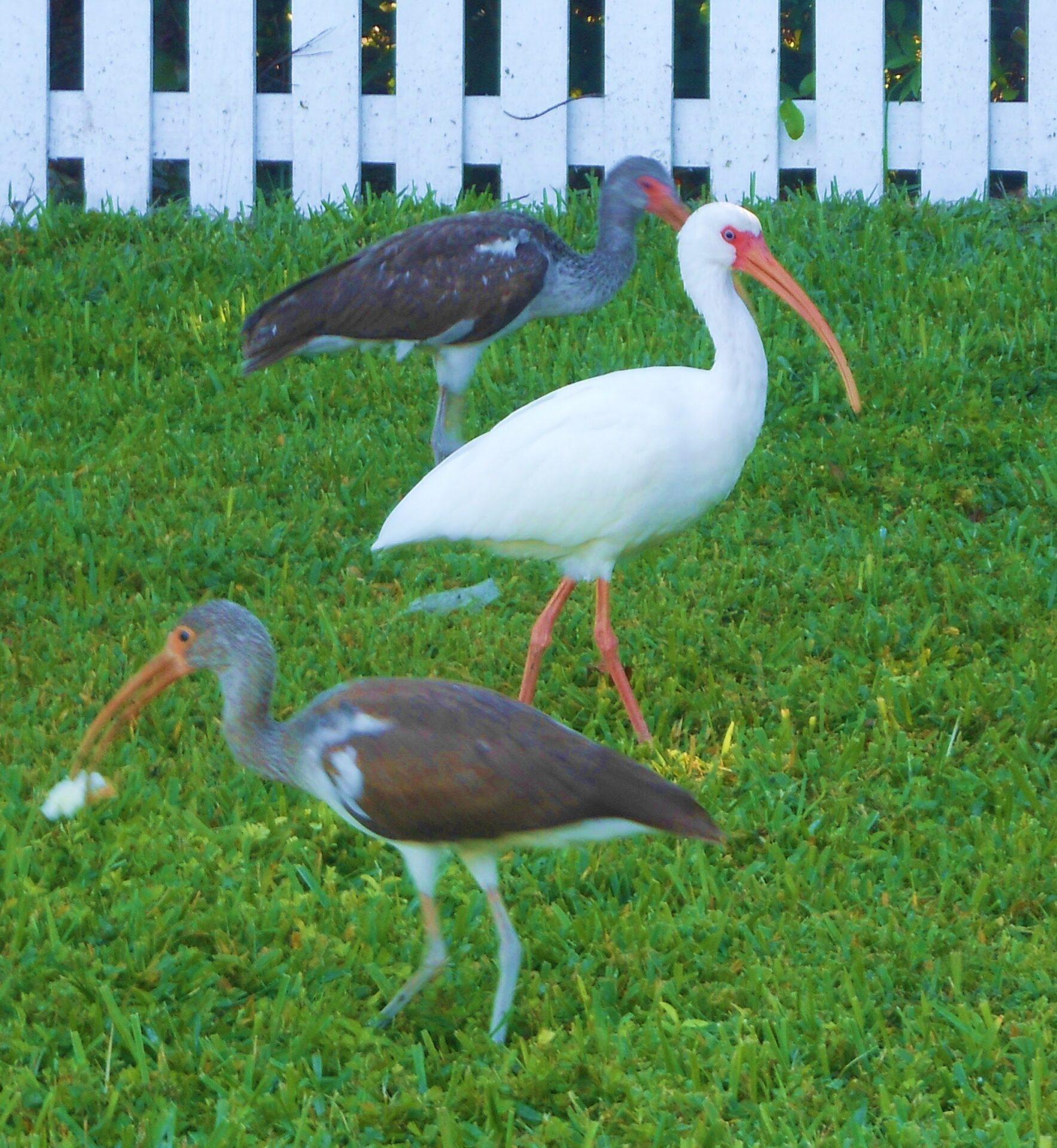 white-ibis-2