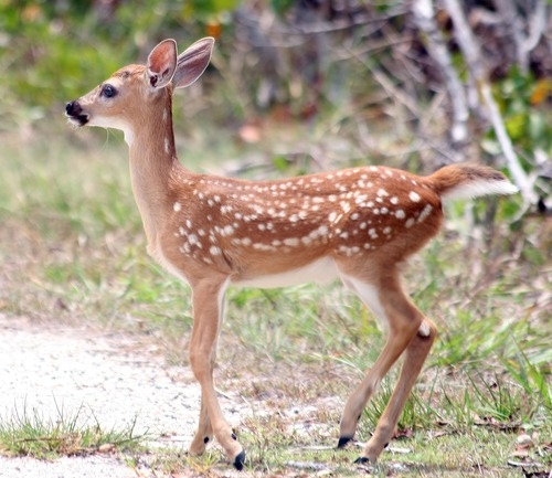 Lower Florida Keys Key Deer Fawn