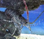 florida-spotted-spiny-lobster