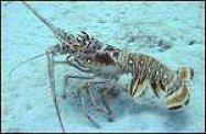 Spiny Lobster Florida Keys Foods