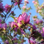 Saucer Magnolia Tree Florida Landscaping Today