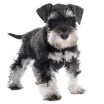 Find Miniature Schnauzer Puppies For Sale In Florida