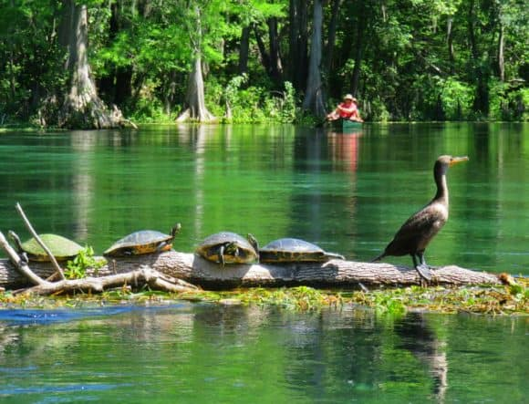 Ichetucknee Springs is turtle paradise. (Photo: David Blasco)