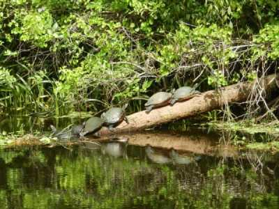 Turtles along the Loxahatchee River, which means river of turtles.