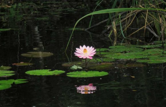 A pink water lily along the Turner River in Big Cypress National Preserve off the Tamiami Trail. (Photo: Bonnie Gross)