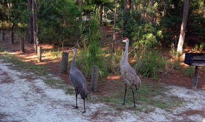 Endangered sandhill cranes at Moss Park