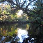 Oak arches over the kayak trail on the St. Lucie River South Branch