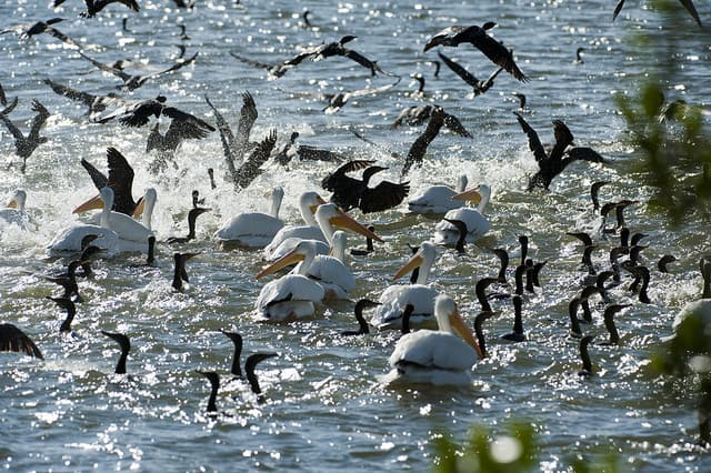 White pelicans and cormorants in feeding frenzy in Florida