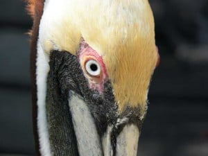 Pelican at Florida Keys Wild Bird Center, Marathon