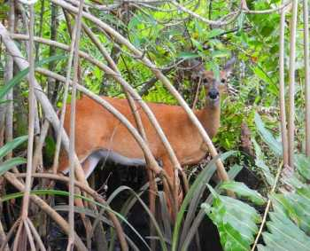 A deer along Kitching Creek at Jonathan Dickinson State Park