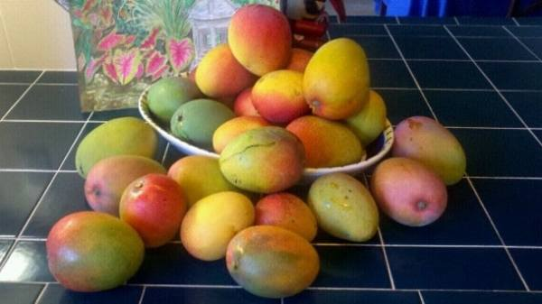Florida Mangoes from Bonnie's yard for Mango Chutney recipe