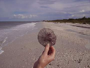 Sanddollar found on Barefoot Beach