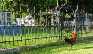 Key West Cemetery rooster