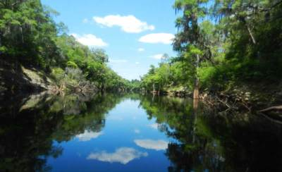 Along the Suwanee River, you pass through a forest cypress trees, pines and live oaks. all full of bird song.