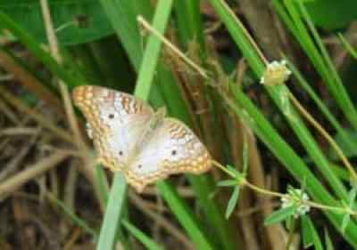 A white peacock butterfly at Shark Valley in Everglades National Park. (Photo: Bonnie Gross)