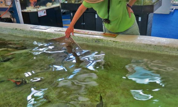 At the Gulf Specimen Marine Laboratory, we loved the friendly stingray, who extends his wing out of the water and which you are allowed to touch. (Photo: David Blasco)