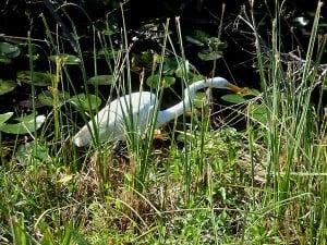 Egret at Everglades National Park at Shark Valley