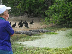 Alligators and vultures at Grassy Waters Preserve in West Palm Beach