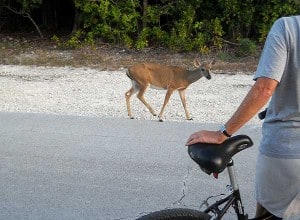 Key deer with bicyclist, No Name Key, Florida Keys