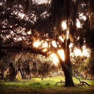 Oaks at Circle B Bar Reserve by Becky Hansmeyer via Flickr