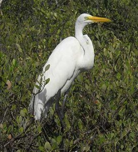 Florida Keys Wild Bird Center: Snowy egret