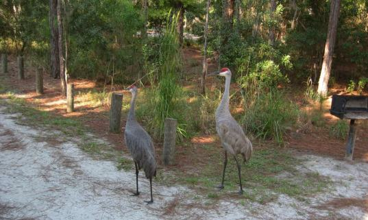 sandhill cranes at moss park