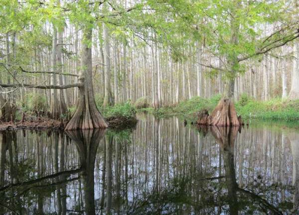 The dark tea-colored water was a mirror for the cypress forest along Fisheating Creek.