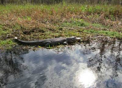 Gator along Fisheating Creek.