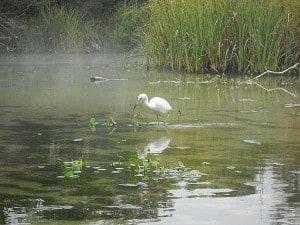 Egret at Weeki Wachee Springs, Florida