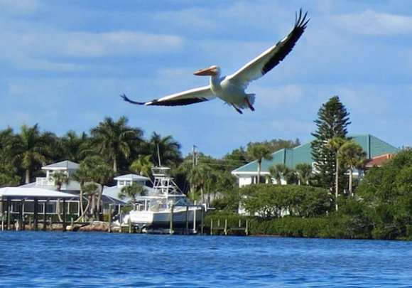 Punta Gorda sea kayaking: White pelicans and mangrove mazes
