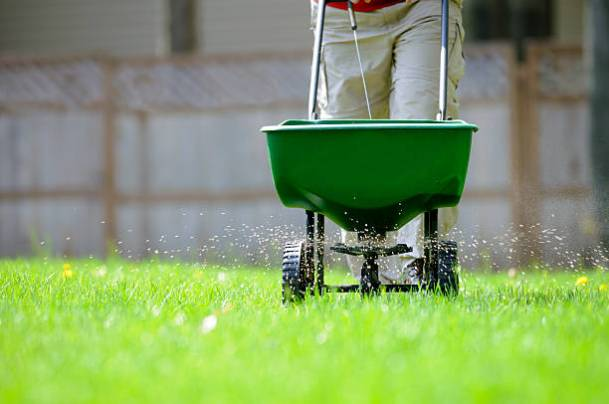 Using a broadcast spreader on a green lawn.