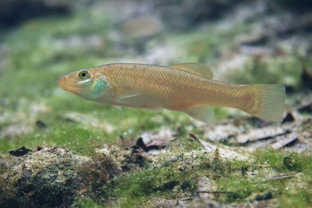 https://floridaspringsinstitute.org/springsfieldguide-fish/seminole-killifish/