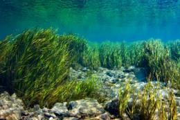 Rainbow River Eel Grass. David Schrichte
