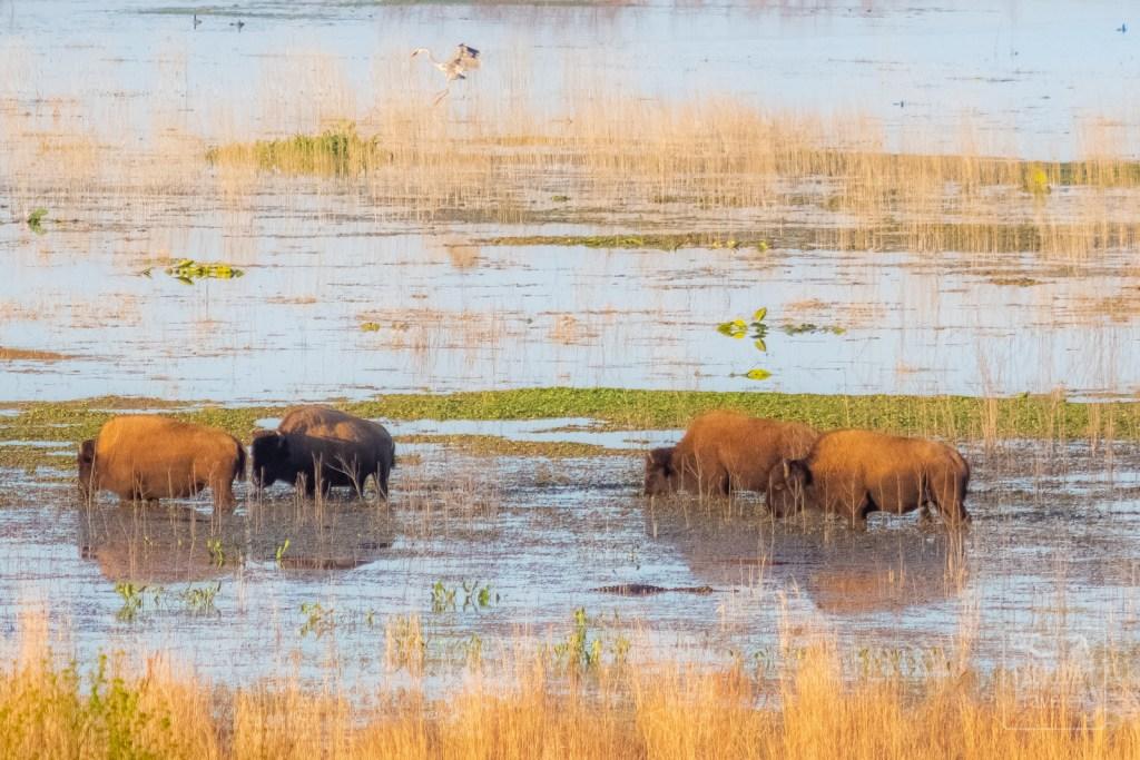 Wild Bison on Paynes Prairie