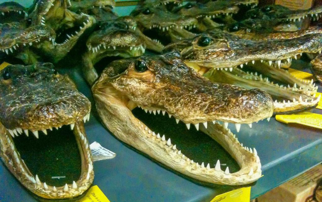 shellacked alligator