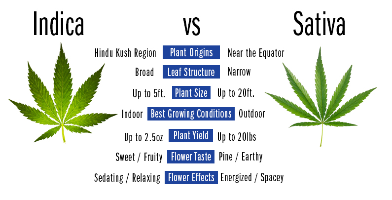 Indica vs Sativa: What you need to know